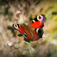 опять бабочки...16 :: Александр Прокудин