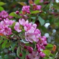 яблони в цвету... :: nataly-teplyakov