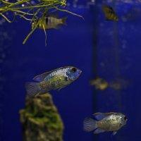 Из жизни рыбок :: gribushko грибушко Николай