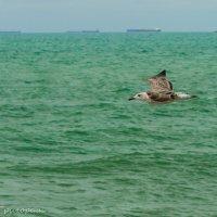 Одинокая чайка. :: Аркадий Григораш