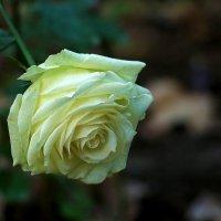Осенняя розочка :: Светлана
