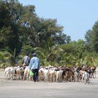Гамбия. Пастухи :: Юлия Грозенко