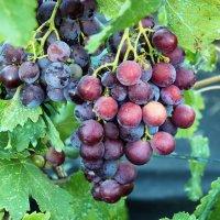 Виноград :: Алла ZALLA