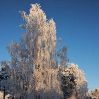 Стоят деревья, одетые в иней. :: Галина .