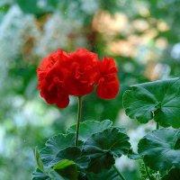 Цветочек аленький. :: nadyasilyuk Вознюк