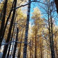 стройный лес :: Владимир