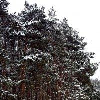 Сосны зимой! :: ирина