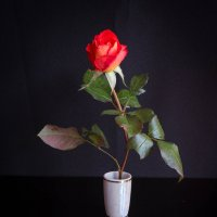 Роза красная цвела гордо и неторопливо... :: Irene Irene