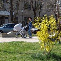 Прошлогоднее фото. Форзиция зацвела 10 апреля, в этом году на две недели раньше! :: Татьяна Смоляниченко