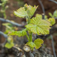 Виноградную косточку в теплую землю зарою.... :: Leonid Shafran