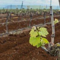 Виноградная лоза :: Leonid Shafran