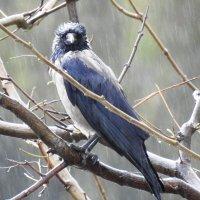 Дождь.Ворона. Настроение. Мир в оконном проеме. :: Гала