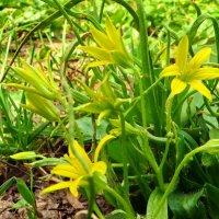 Гусиный лук.   Gagea lutea (L.) Ker Gawl. (семейство Liliaceae)Гусиный лук жёлтый :: ivan
