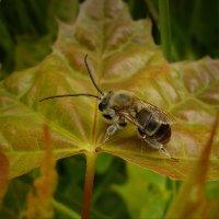 Сон пчелки золотой :: dana smirnova
