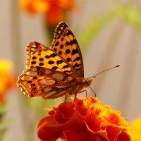 и снова бабочки 68 :: Александр Прокудин