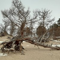 Ходульные деревья (лиственницы) в бухте Песчаная :: Галина
