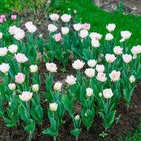 Тюльпаны :: Ольга Бекетова