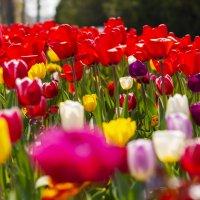 Тюльпаны расцвели :: Геннадий Б