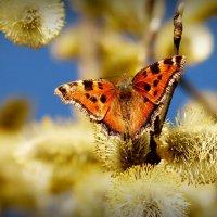 и снова бабочки 110 (весна...) :: Александр Прокудин
