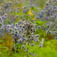Синие цветы в поле :: Даниил Шадрин