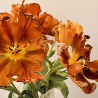 Рыжие тюльпаны :: Марина Кушнарева