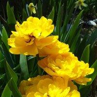 полный тюльпыны  желтые :: вячеслав коломойцев
