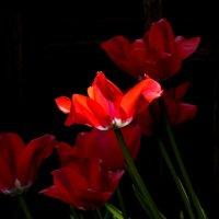 Тюльпаны, свет и тень :: Heinz Thorns