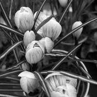 Крокусы ... :: Лариса Корж