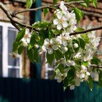 А за окном цвела весна, манила терпким ароматом... :: Татьяна Смоляниченко