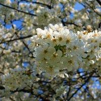 .. В бушующем, кипящем белоцветьи... :: Galina Dzubina