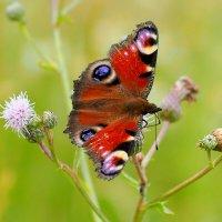 и снова бабочки 169 :: Александр Прокудин