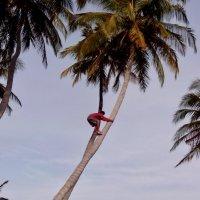 За кокосами :: Надежда Шубина
