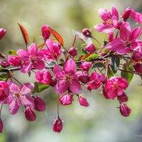 Цветущая ветка яблони Недзвецкого :: Игорь Сарапулов