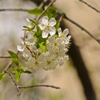 Опять апрель, опять цветение ! :: Ольга Винницкая (Olenka)