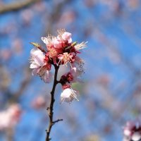 №1   Мир, май, цветы абрикоса... :: Алекс Б-в