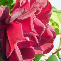 Майская роза. :: Валерьян Запорожченко