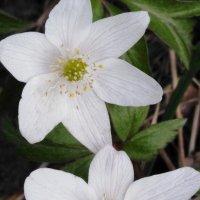 Лесные цветочки :: Maryana Petrova