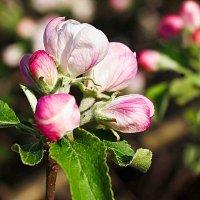 яблоня цветет :: юрий иванов