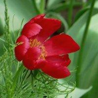 Крупные цветы пиона тонколистного имеют ярко-красный оттенок и похожи на мак :: Татьяна Смоляниченко
