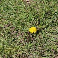 Одинокая ромашка на разбуженном весной поле :: Сергей Якуцени