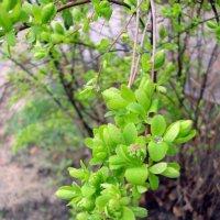 Нежная зелень :: Лидия (naum.lidiya)