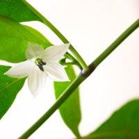 цветок тайского чили :: Алексей Кузьмичев