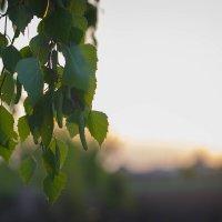 BIRCH TREE :: elena13 .