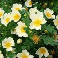 Шиповник цветет :: Лидия (naum.lidiya)