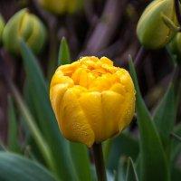 Желтые тюльпаны :: Александр Трухин