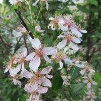 Вишня цветет... :: Galaelina ***