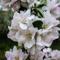 Цвет колоновидной яблони. :: Надежда