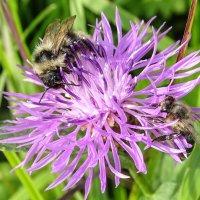 Пчелинные заботы :: Ирина Майорова