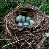 Гнездо дрозда :: Alexandra