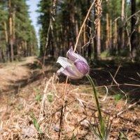 В весеннем лесу :: Elena Sartakova